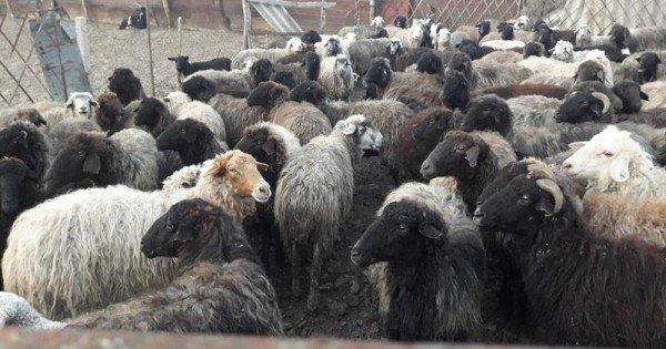 După ce au devorat oi la Florești, lupii au migrat și în alte raioane