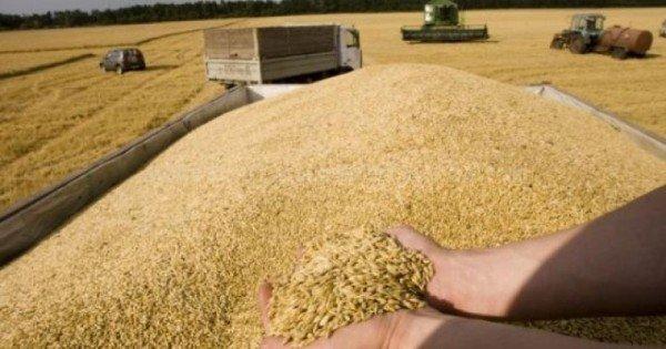 Recolta bogată de grâu în acest an. Agricultorii strâng câte 4,5 tone la hectar
