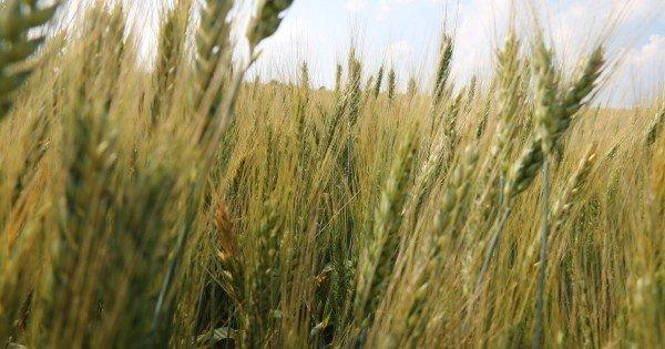 Vremea de afară le-a dat bătăi de cap fermierilor. Recoltarea cerealelor a început cu 14 zile mai târziu